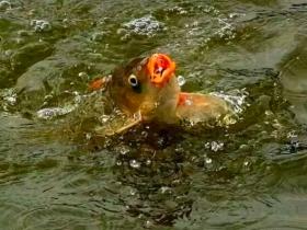 一种黑坑钓鱼拉大饵的方法