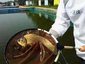 一种专门钓大鱼的饵料和窝料