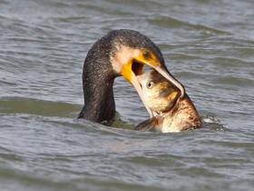 鱼吃鸟?听说过吗?见过吗?