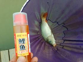 春季黑坑钓鲤鱼技巧