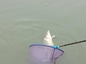 黑坑钓鲤鱼要应对鱼情